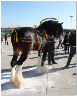 click here for the Peterborough Shire Horse Show 2011
